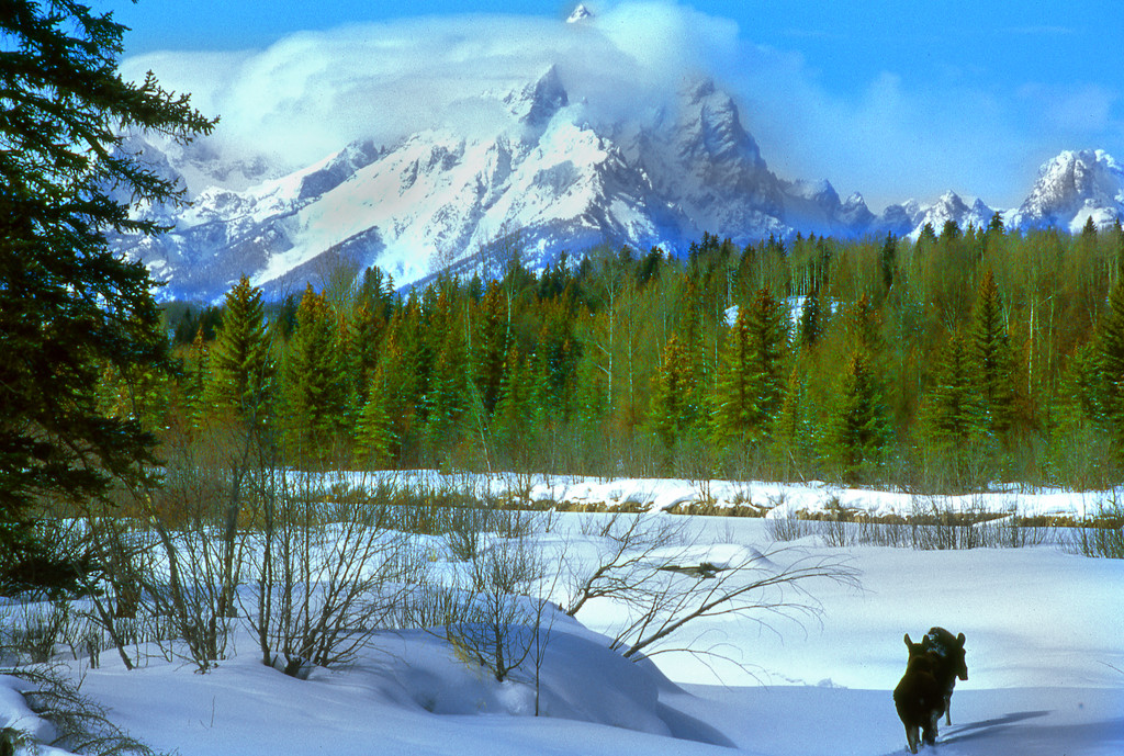 Moose and The Grand Teton in winter.  Near Moran Junction, Grand Teton NP, WY<br /> <br /> © Kirk Sagers