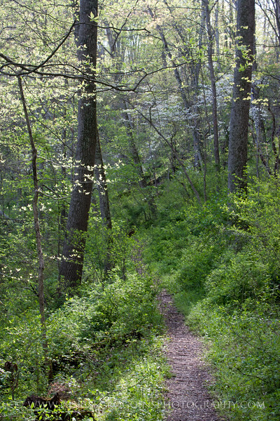 Dogwoods and Trail.<br /> Gunpowder Falls State Park, Maryland.