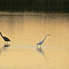 Wading for dinner<br /> Great Blue Heron (left)<br /> Great Egret (right)