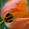 Sherwood Tulip
