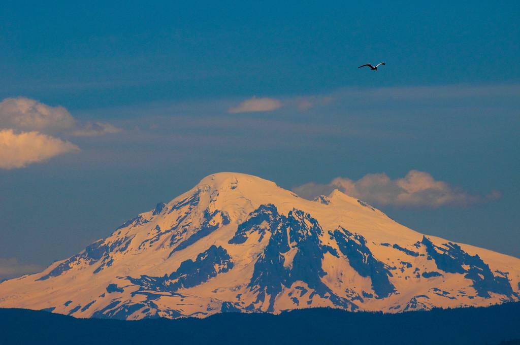 Mount Baker & Caspian Tern