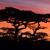 Africa Acacia Trees Sunrise