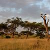 Eurasian Storks Roosting
