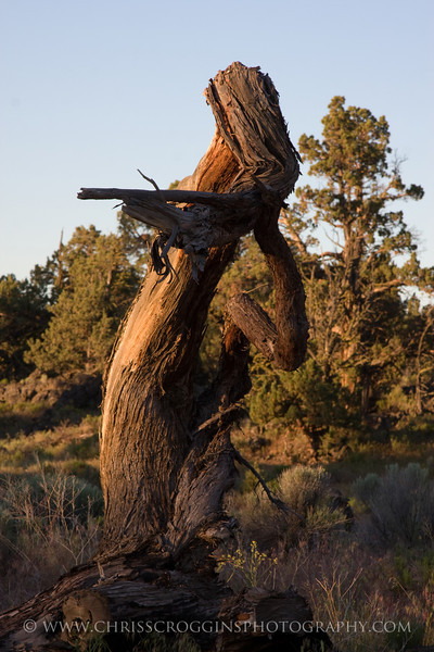 The Magic Flute-<br /> A vision of a female flutist as manifested in a juniper tree.<br /> Oregon High Desert.