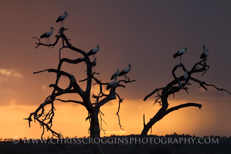 Eurasian Storks
