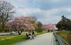 160414 - 8531 Cherry Blossoms in Spring - Hamburg, Germany
