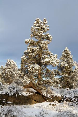 Snow and Juniper Trees