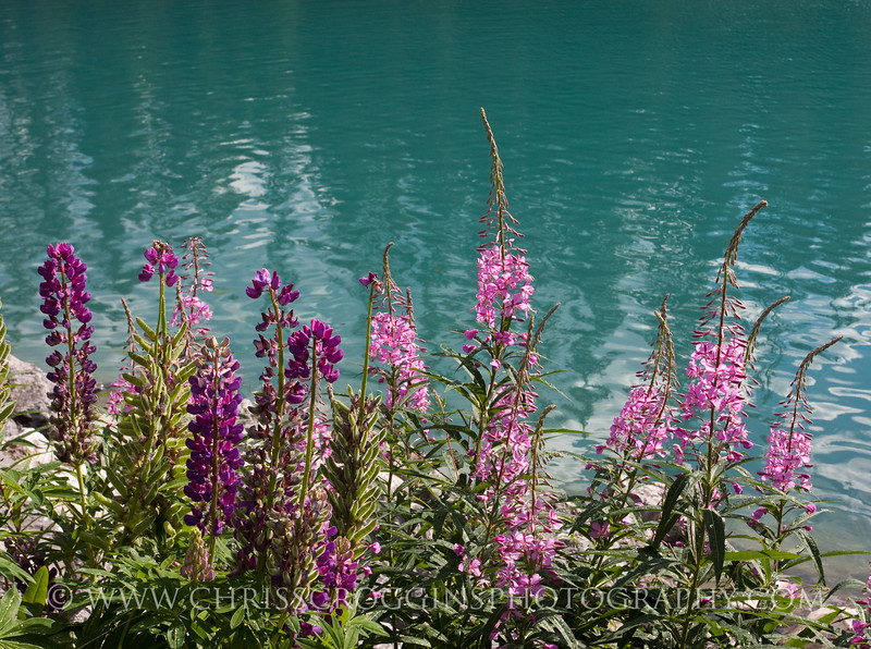 Fireweed and Lupines