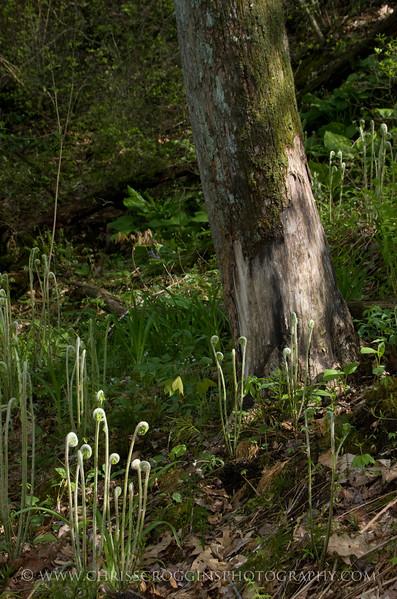 Fiddlehead Ferns<br /> Gunpowder Falls State Park<br /> Hereford, Maryland