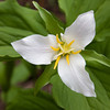 Large White Trillium Flower.