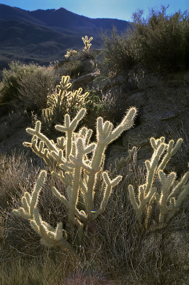 Backlit chollas, Santa Rosa Mountains, California.