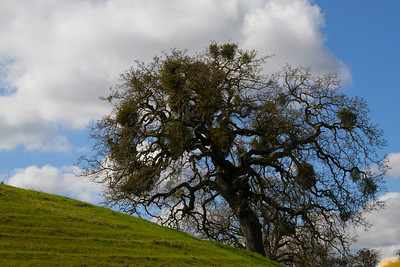 Winter Oak Tree Alamo Hills