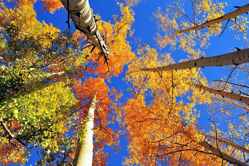 These Aspens were at various stages of fall colors near Coal Bank Pass between Durango and Silverton Colorado in late September.