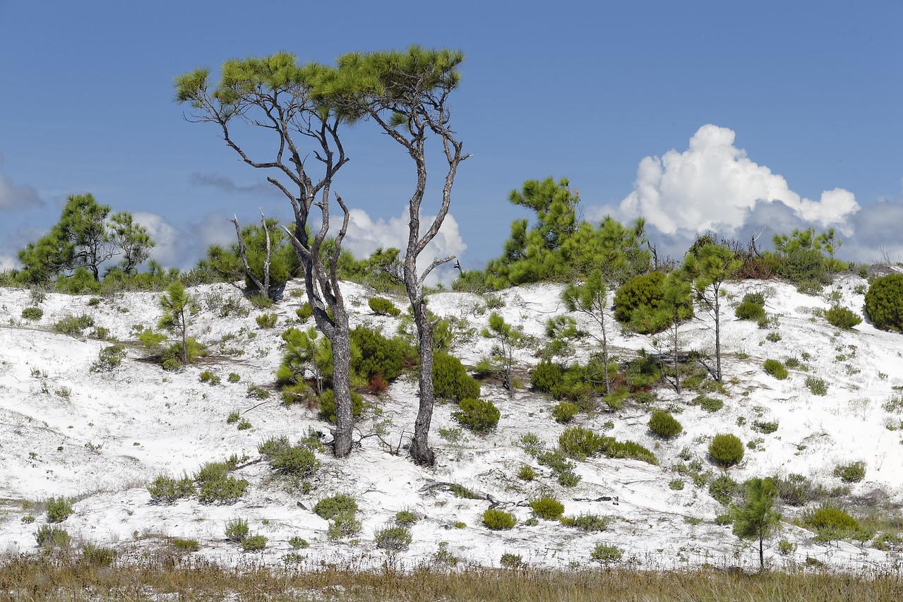 Longleaf Pine Pair on the dunes of St. George Island