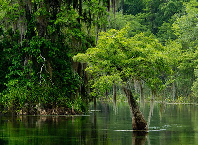 American Bald Cypress, Edward Ball Wakulla Springs State Park, Florida