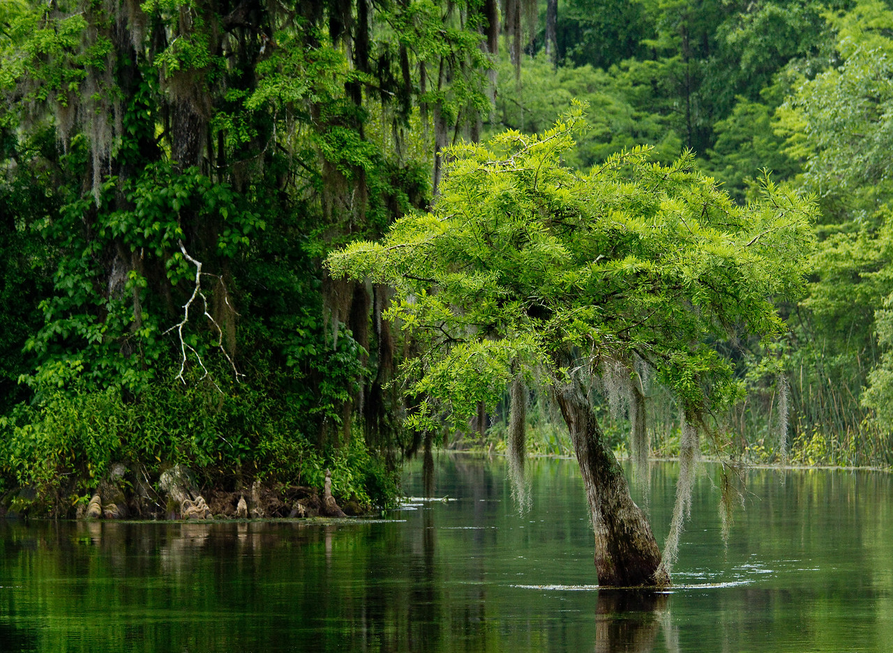 American Bald Cypress, Edward Ball Wakulla Springs State Park, Florida