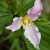 Great White Trillium Flower