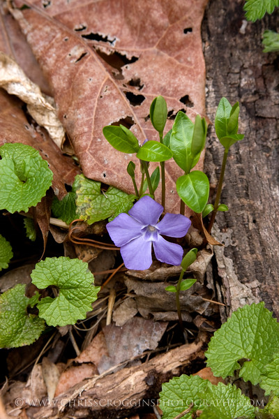 Periwinkle Wildflower