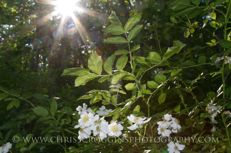 Wild Shrub Rose.<br /> Gunpowder Falls State Park.