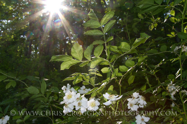 Wild Shrub Rose.<br /> Gunpowder Falls State Park.