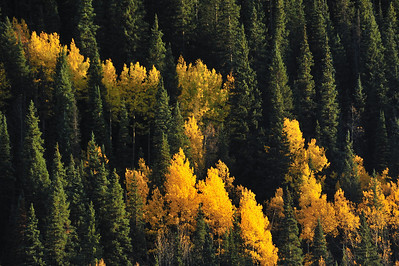 Late in the evening, these aspens were just glowing in amongst the green fir trees.  Near Silverton Colorado.