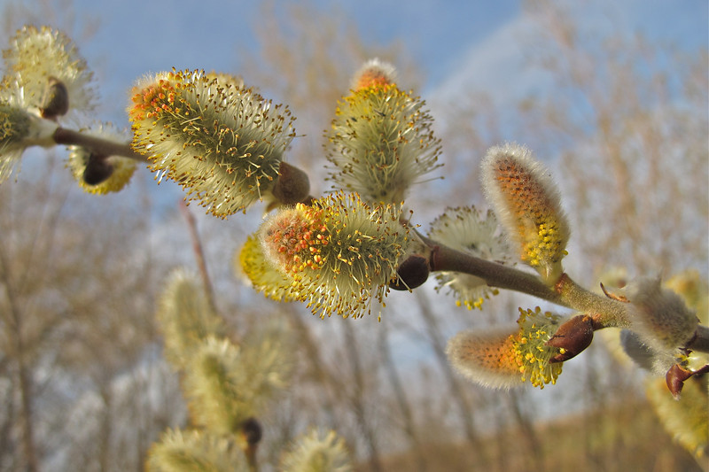 Pussywillow