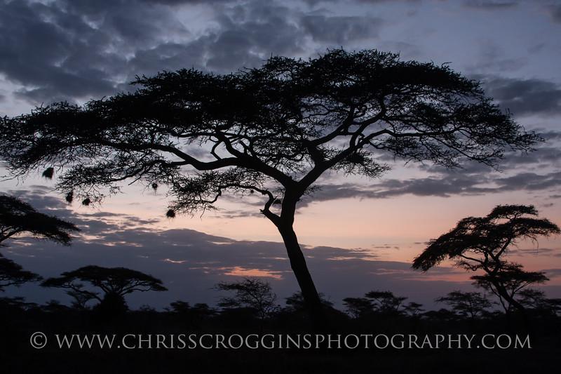 Africa Acacia Trees at Sunset