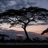 Africa Acacia Trees at Sunset