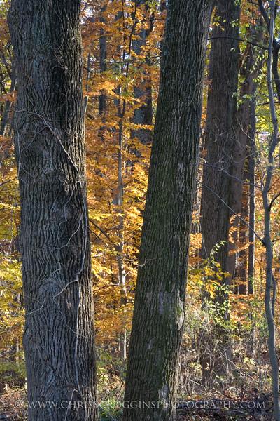 Oregon Ridge Trees