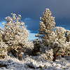 Snow and Juniper Trees