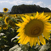 Sunflower Field, Maryland