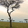Acacia trees, Massai Mara, Kenya<br /> <br /> <br /> Moonscape<br /> by Gary Yankech<br /> <br /> I saw a tree with a flat top<br /> I saw another, and then another.<br /> <br /> It reminded me of a moonscape<br /> a barren world, of tabletops.<br /> <br /> Who would eat at these tabletops?<br /> Who would sit at this strange feast?<br /> <br /> A giraffe, of course<br /> with its thick long tongue.<br /> <br /> A giraffe, of course<br /> Living on the moon.