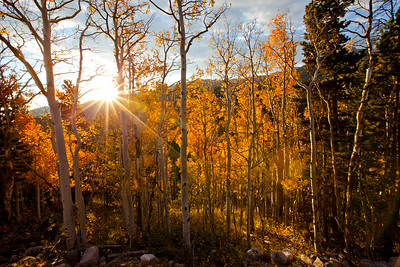Sunrise through the fall aspens, Estes Park, CO.