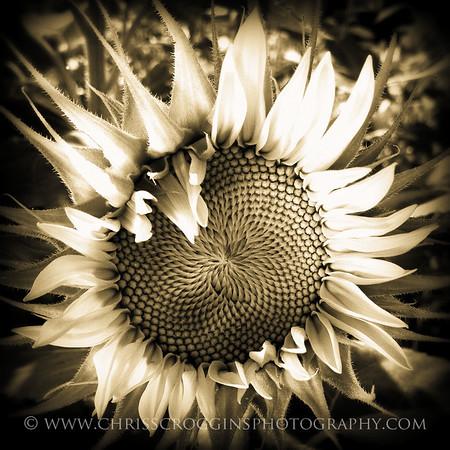 Sepia Sunflower