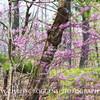 Woodland Redbuds