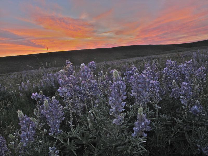 Lupine sunset