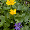Periwinkles and Lesser Celendine