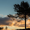 Scots Pine  silhouette - Cairngorms