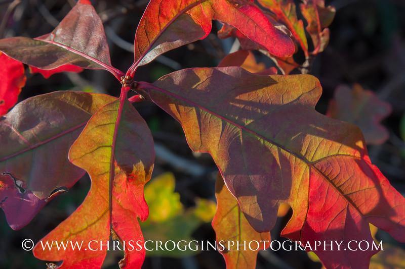 Pin Oak Leaves in Autumn