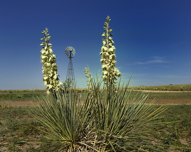 The yuccas are everywhere....near Snead Plant in the Panhandle of Texas.