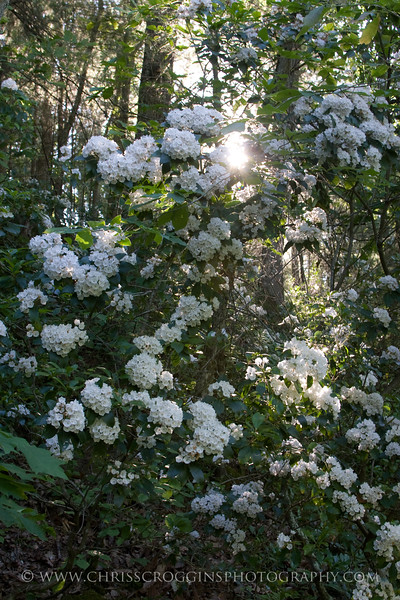 Sunlit Mountain Laurel and Trees,<br />  Gunpowder Falls State Park, Md.
