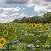 Sunflowers at McKee-Beshers wildlife management area.