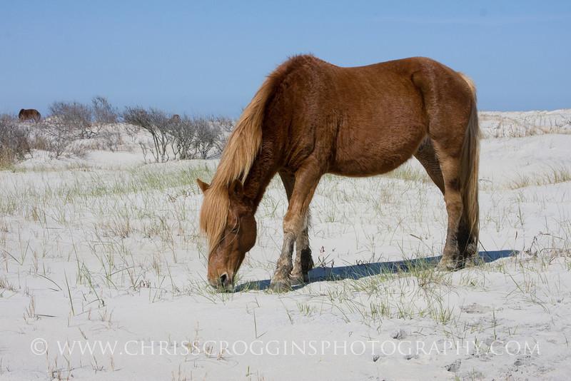 Pony on Dunes