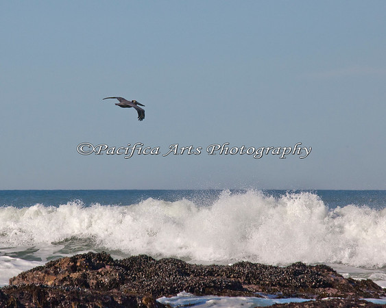 A Brown Pelican flies over the surf at Fitzgerald Marine Reserve.