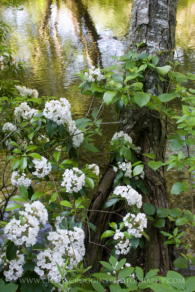 Mountain Laurel,<br />  Gunpowder Falls State Park<br /> Hereford, Maryland