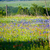 Bluebonnets and Indian Paint Brush
