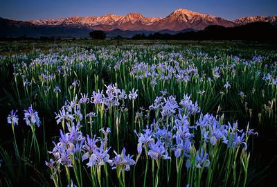 Iris at Sunrise Bishop, California