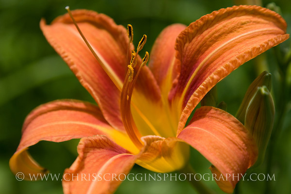 Wild Daylily or Ditch Lily,<br /> Gunpowder Falls State Park,<br /> Hereford, Maryland.