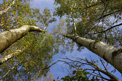 Autumn silver birches and blue sky