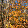 Beech Trees in Autumn,<br /> Gunpowder Falls State Park,<br /> Baltimore County, Md.